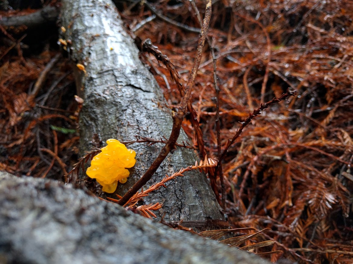 Yellow Witch's Butter